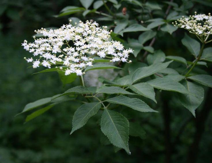 Saúco, un arbusto para climas templados - http://www.jardineriaon.com/sauco-un-arbusto-para-climas-templados.html