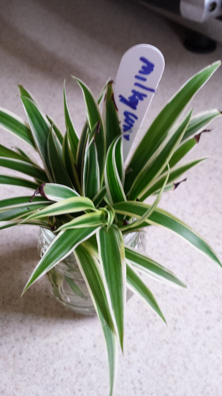 20 best spider plant airplane plant chlorophytum images on