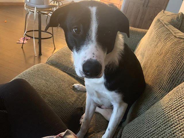 Lost Dog Vadnais Heights Labrador Retriever Mix Female Date