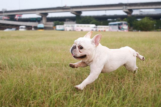 Run and run some more!  French Bulldog Puppy