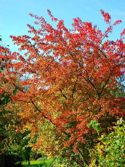 50 best images about acer maples on pinterest trees for Maple trees for small gardens