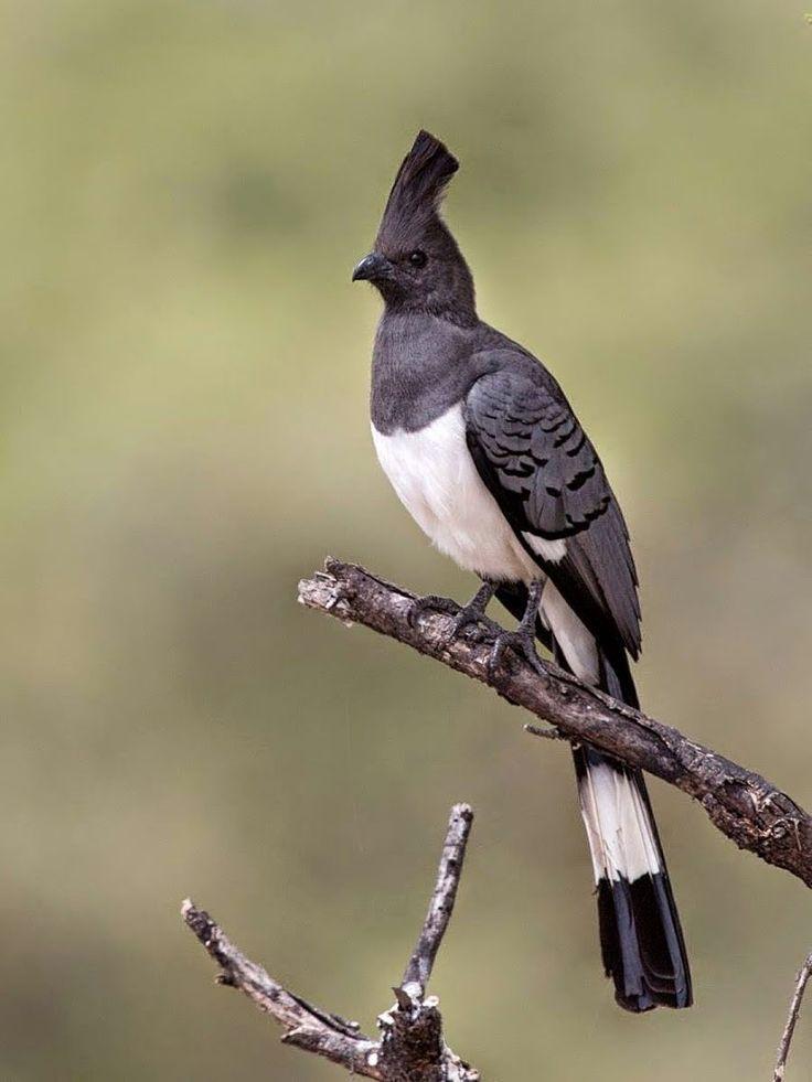White-bellied Go-away-bird (Corythaixoides leucogaster)