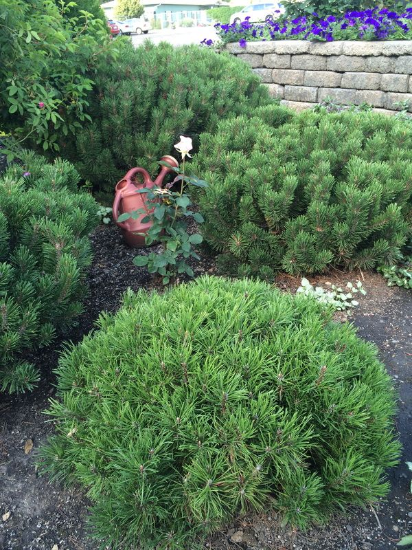 467 best images about plant wish list on pinterest for Dwarf trees for small gardens