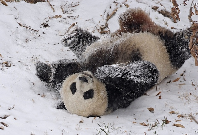 National Zoo giant panda enjoys area's first snow by Smithsonian's National Zoo, via Flickr