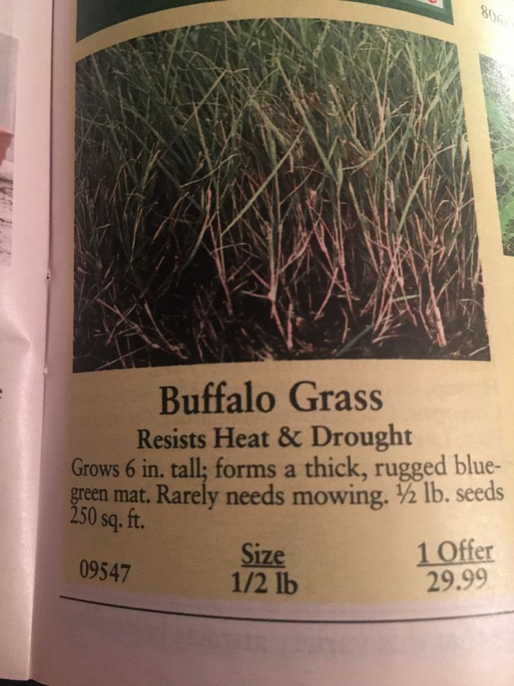 Buffalo grass how to dry basil green mat grass