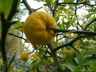 Japanse citroenboom