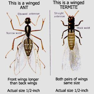 Sometimes Flying Ants Can Be Mistaken For Flying Termites. Check Out This  Diagram To Know