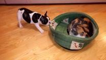 Cachorro intenta recuperar su cama a manos de un gato