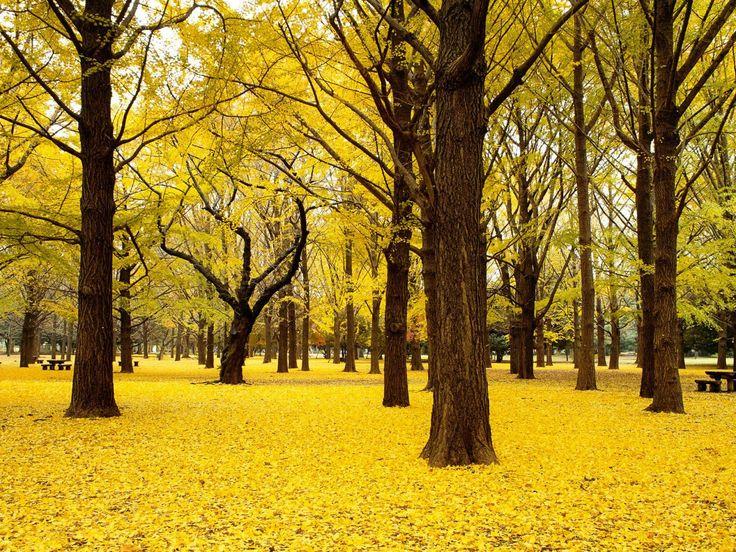 Golden forest of Gingko Biloba in Japan
