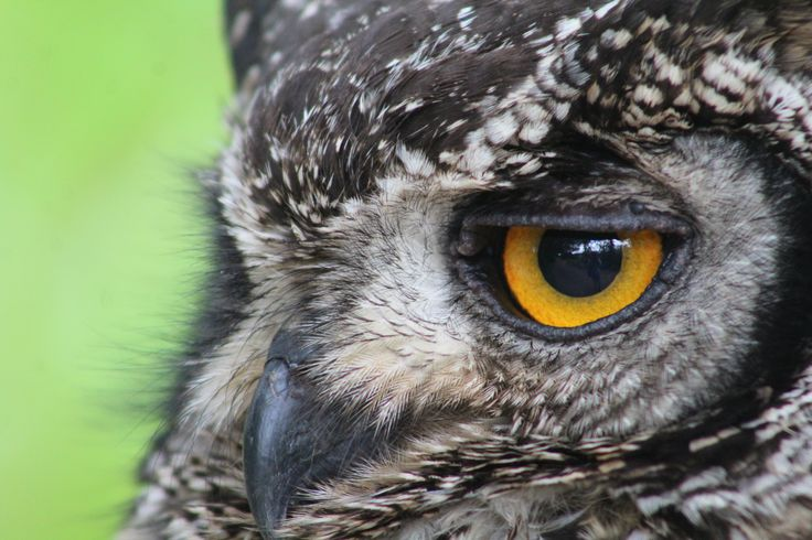 Close-up of a spotted eagle owl