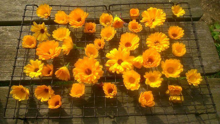 Uses for Marigolds - Marigold Tea, salad ingredient, insect repellent, skin healing treatment. · via piefingers #Tumblr #Herbs #Herbal