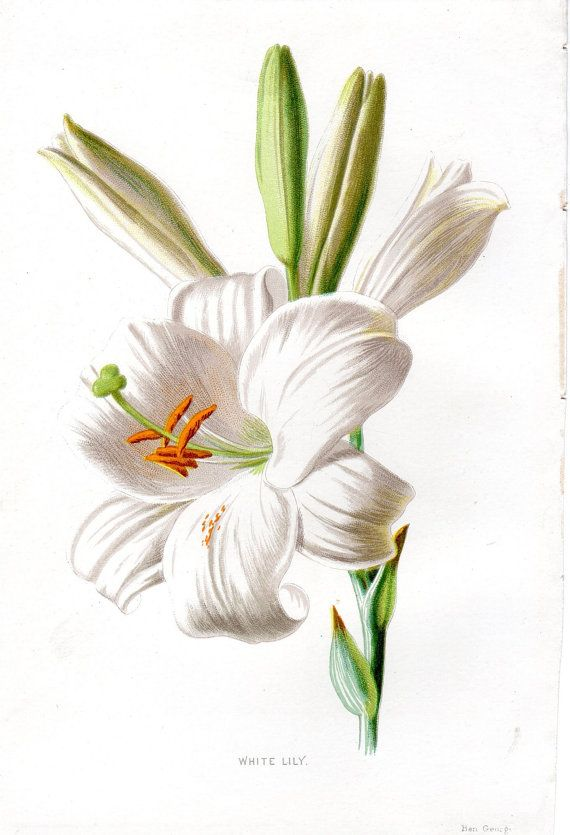 1887 Antique Flower Print WHITE LILY Lithograph Original Botanical Art