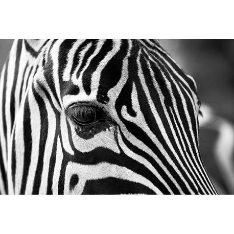 Obraz na płótnie - Dzika zebra - dostępny w rozmiarach 150x100, 120x80, 90x60, 60x40, 40x26 cm #fedkolor #obraz #na #płótnie #ze #zdjęcia #zebra #natura #dzika #czarnobiałe #blackwhite #zwierzęta #sawanna #Afryka #ozdoby #egzotyczne #dekoracje #inspiracje #pomysły #urządzanie #mieszkania #dom