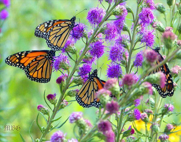Purple Erfly Flower 6 Purr Plants