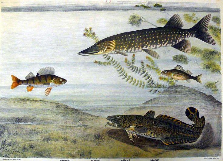 Kotimaisia kaloja opetustaulussa