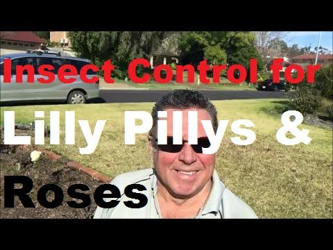 Lilly Pilly Insect Control [Best Insect Control For Roses] [Roses Insects and Diseases] - Insect Control for Lilly Pillys and Roses