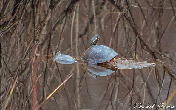 "AccuFan Weather PhotooftheDay: Turtles 'Basking' in Basking Ridge, NJ by ""elizabethbran"" 4/3/15."