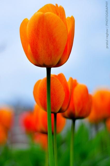 348 besten tulips bilder auf pinterest sch ne blumen blumenbilder und exotische blumen. Black Bedroom Furniture Sets. Home Design Ideas