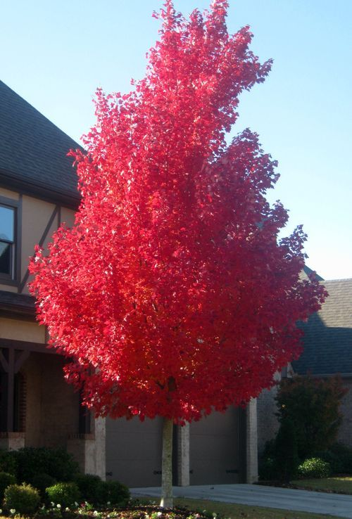 Red sunset maple - Fall is the best time for appreciating the beauty of shade trees. It's also the best time to plant them. Cool temperatures mean minimal transplanting shock. And after the leaves drop, you can let n...