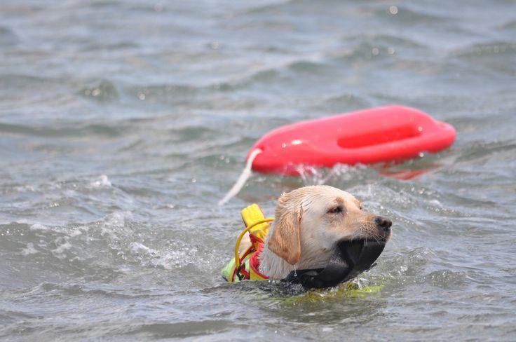 Labrador che riporta baywatch