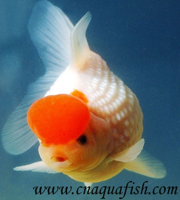 17 best images about gold fish types on pinterest dragon for Types of red fish