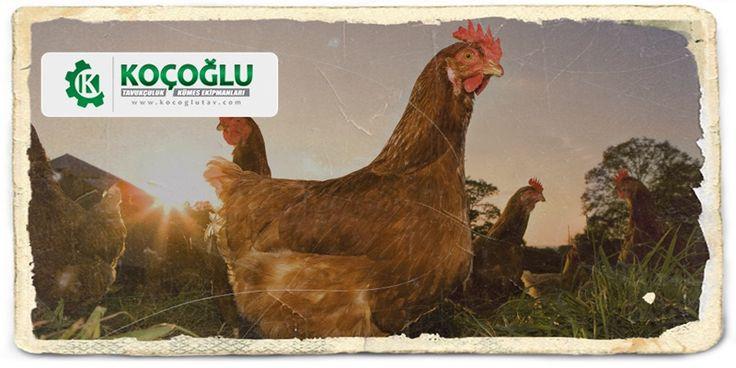 Tavuk yetiştiriciliği nasıl yapılır? Tavuk satışı tüm sorularınıza cevap bu adreste http://www.yarkaburada.com