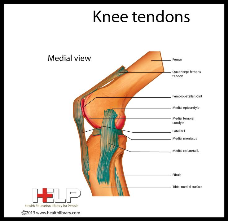 Anatomy of the knee ligaments and tendons