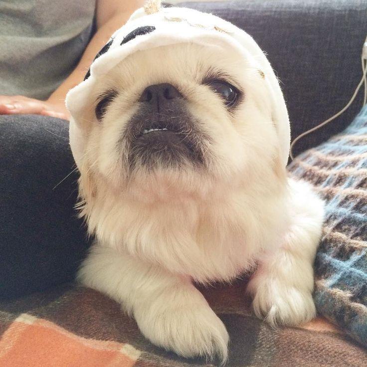 おはよう 友達ワンコのアンちゃんが遊びに来てる ぶすかわ #ペキニーズ #pekingese  #dog #instadog  #like by sunaberock