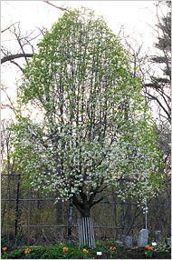 A story of the the Survivor Tree that lived through 9-11, uproot, and Hurricane Irene to bloom first in the spring.