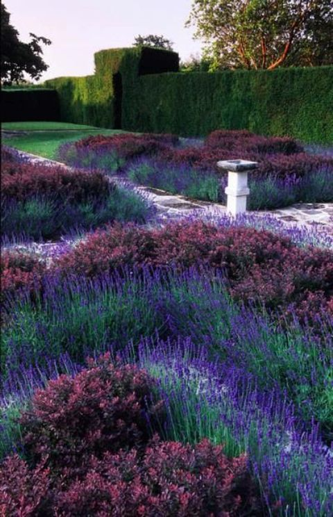 The Lavender and Berber Knot Garden in Little Hill, Sussex.