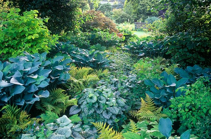 finely marked leaves of the Brunnera forming a stream between taller plants, such as the Hosta and evergreen fern, Dryopteris erythrosaura
