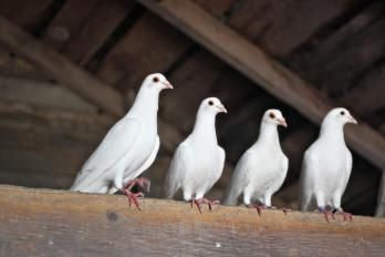 How to raise homing pigeons | Living the Country Life
