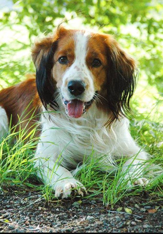 Kooikerhondje Puppy Dog Photography Dog Breeds Dogs And Puppies