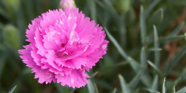 Garofani - Rosa e rossi sulla terrazza