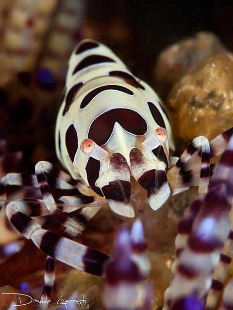 Coleman Shrimp by Davide Dèdè Lopresti on Flickr*
