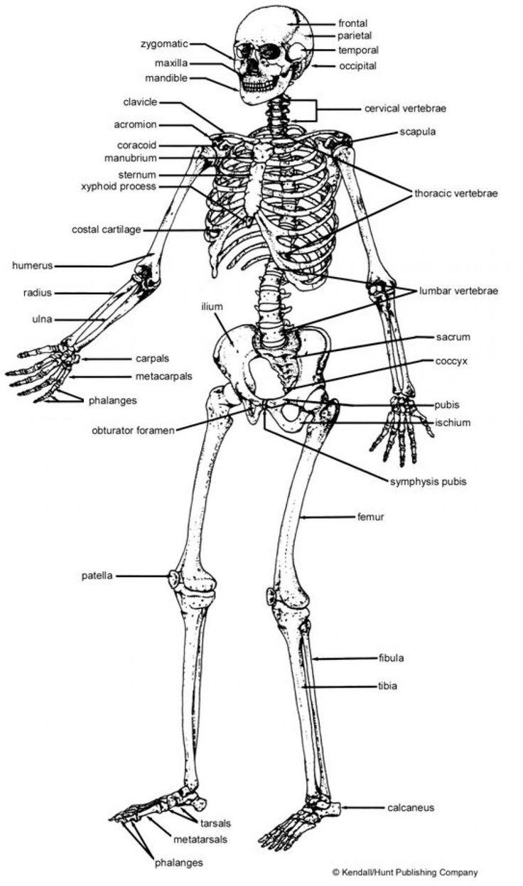 worksheet Human Anatomy And Physiology Worksheets 7 best human anatomy images on pinterest skeletal worksheet of the skeleton