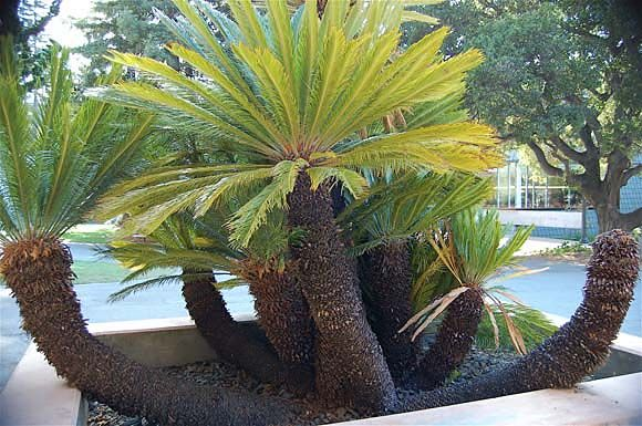 how to grow cycad palms from seed