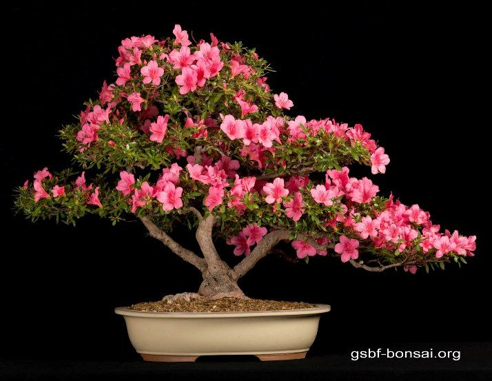 bonsai first branch - Google Search