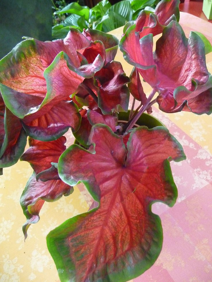 1000 images about plants caladiums on pinterest for Plante interieur