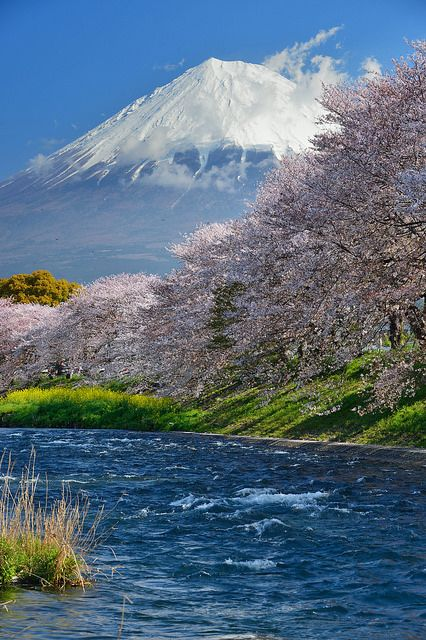 Cherry blossom by the river with Mount Fuji in the background - Japan  (by Katsumi)