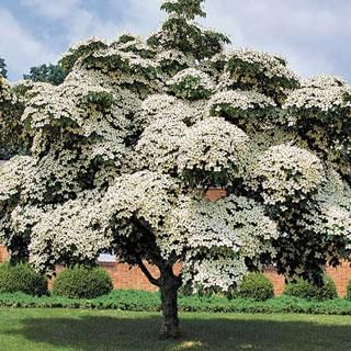 Milky Way Cornus kousa var. chinensis Dogwood Tree.  Hard to find Chinese Dogwood.  Abundant blooms late spring to early summer.  Creamy-white flowers weigh down downturned branches.  After flowers, masses of red berries irresistible to birds, from late summer to autumn.