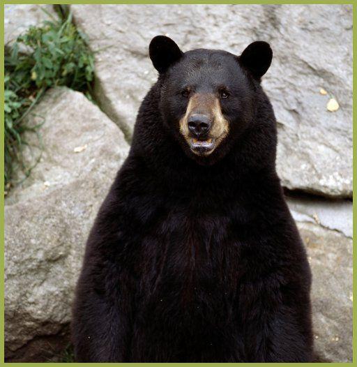 immagini orso nero - Cerca con Google