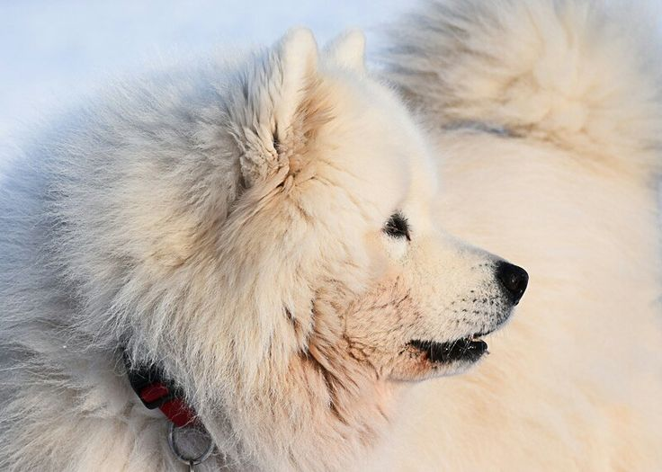 Samoyed Zeus - The fluffiest Teddybear alive  #photography #photoshoot #nikon #nikond3300 #dslrphotography #dogshooting #dogphotography #samojede #samoyed #dogs #hunde