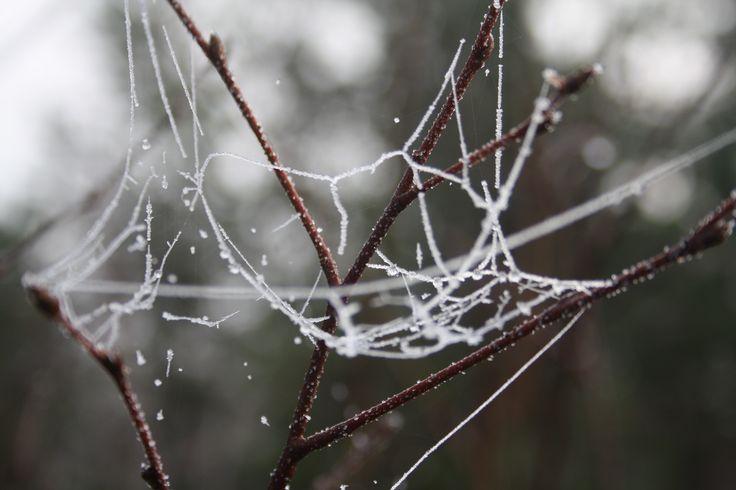 Spiderweb frozen