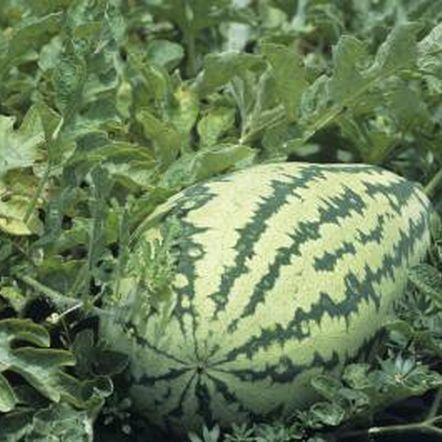 What Plants Can Watermelon Be Planted Close By 400 x 300