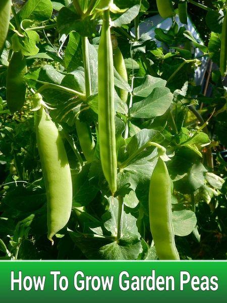 How To Grow Garden Peas #gardening #homesteading