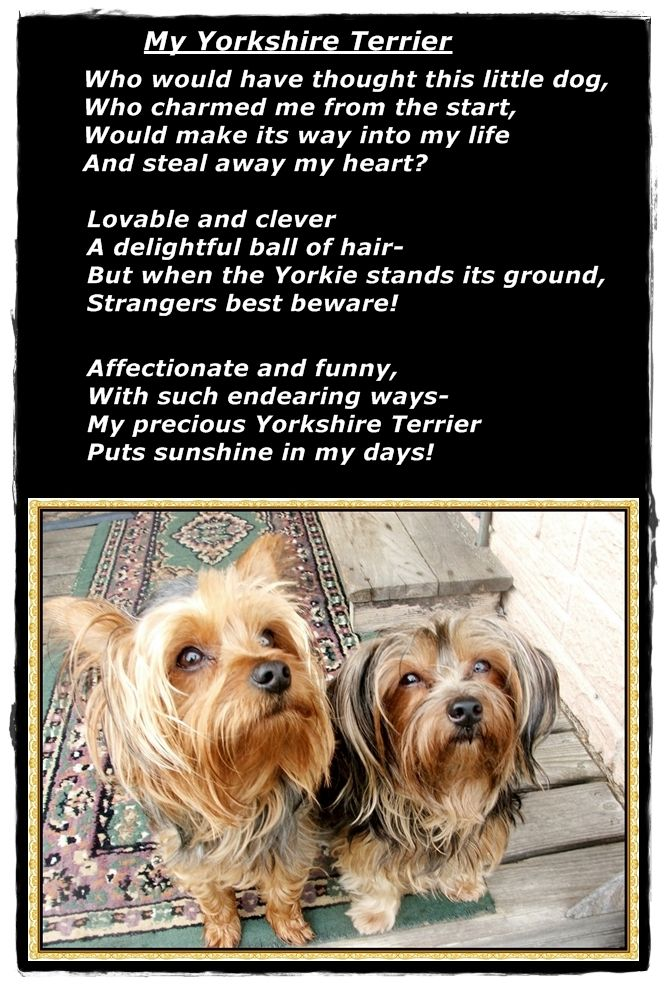 Loved this sweet poem about a breed that's become so popular for good reason. My Yorkshire Terrier ♥ ♥