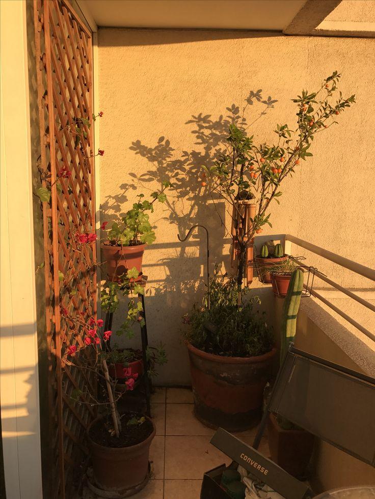 Podando mandarino y trillage, puesta de sol maravillosa