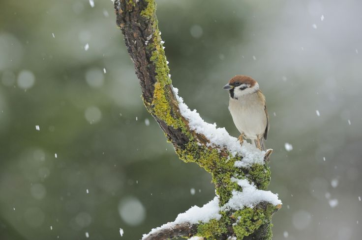 A tree sparrow in falling snow