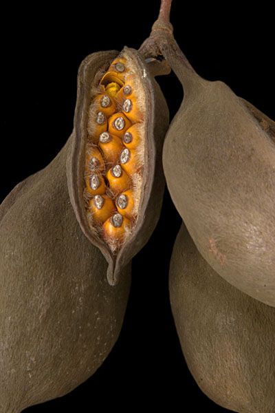 Bottle tree - ripening seed pods - love the vibrant orange seeds inside the chocolate brown pods